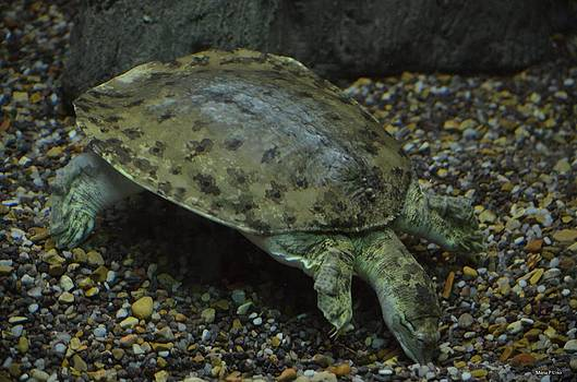 Maria Urso  - Pig-Nosed Turtle