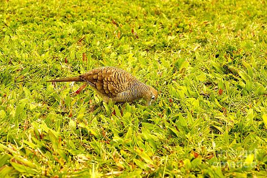 Pigeon by Nur Roy