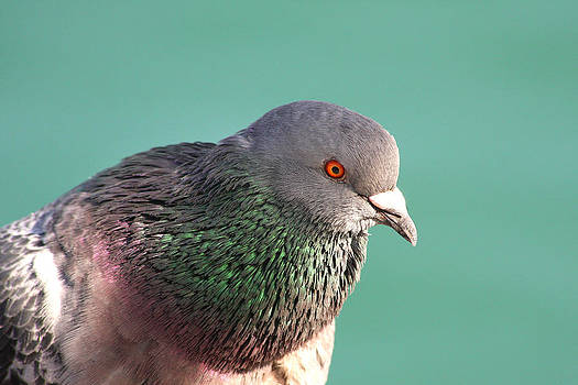 Pigeon Portrait by Bob and Jan Shriner