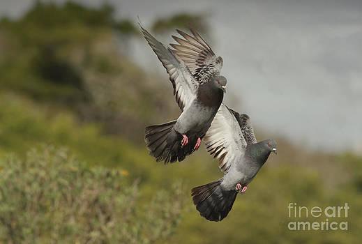 Deborah Benoit - Pigeons Landing