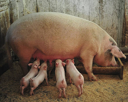 Terry DeLuco - Momma Pig and Piglets