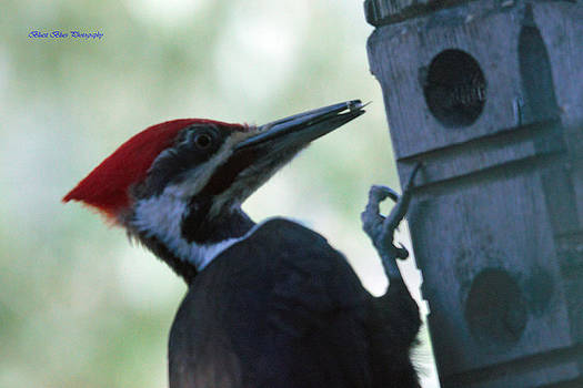 Pileated Tongue by Ed Nicholles
