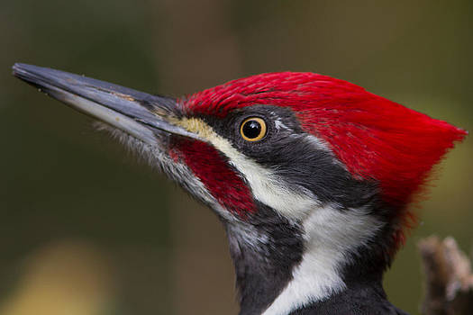 Pileated Woodpecker by Don Baccus