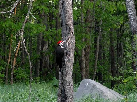Pileated Woodpecker  by Jody Benolken