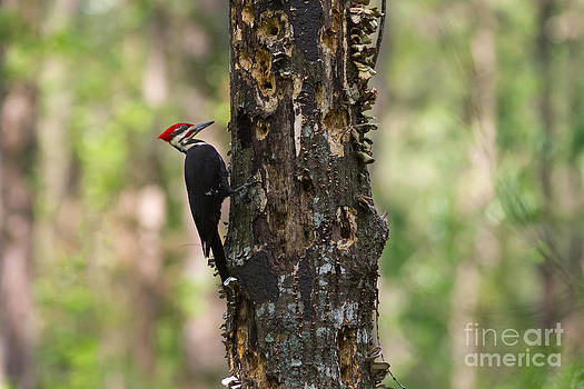 Paul Rebmann - Pileated woodpecker