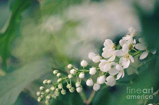 Pin Cherry Blossoms  by Lauren Maki
