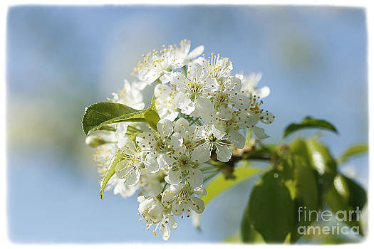 Pin Cherry Tree by Cindi Ressler