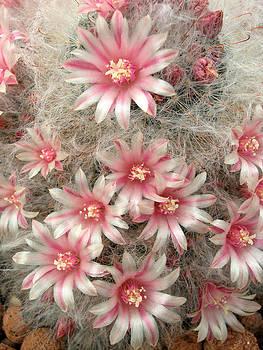 Pincushion cactus by Rob Huntley