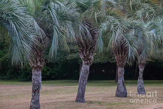 Dale Powell - Pindo Palms