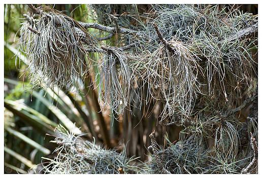 Pine 0094 by Ronald Schafer