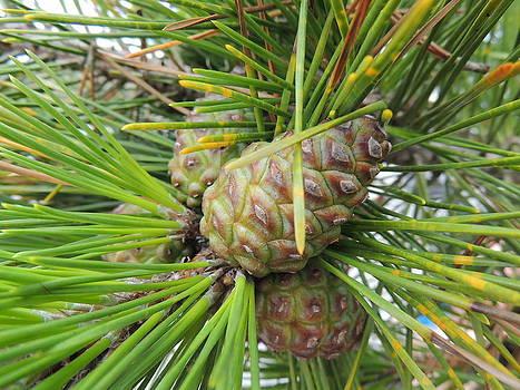 Anastasia Konn - Pine Cones and Needles