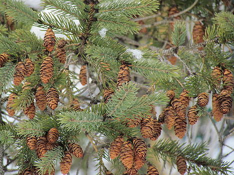 Pine Cones by RJ Blain