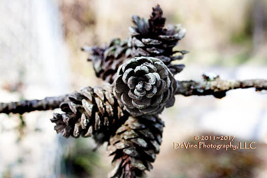 Pine Cones by Stephani JeauxDeVine