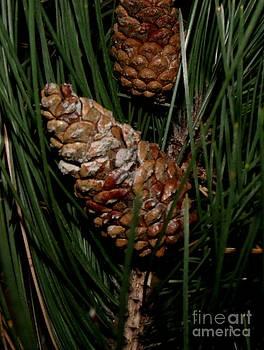 Gail Matthews - Pine Cones still hanging on