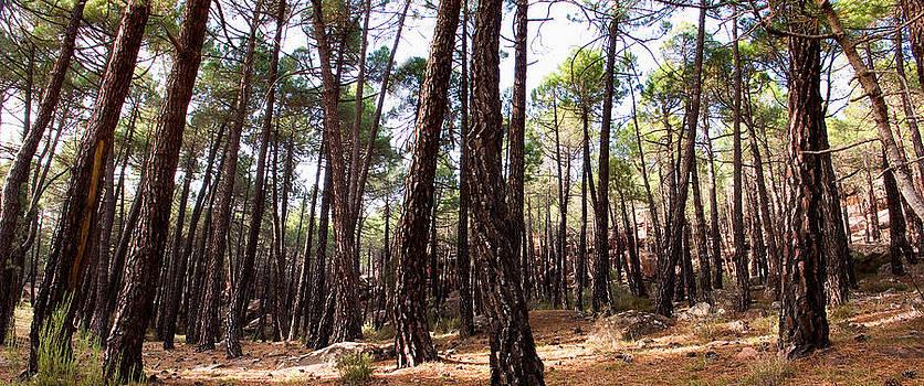 Weston Westmoreland - Pine Forest