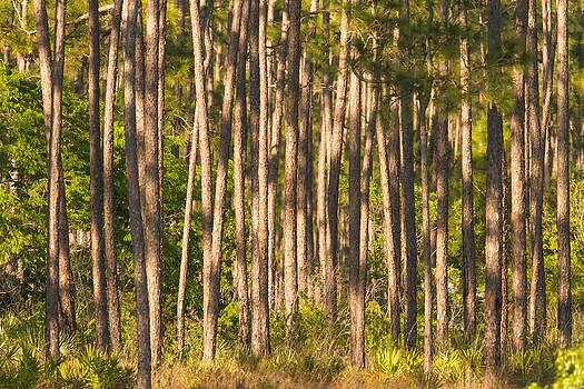 Pine Hammock by Doug McPherson