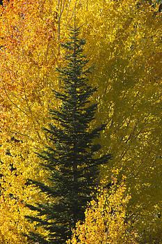 Pine In Aspens by Eleanor Caputo