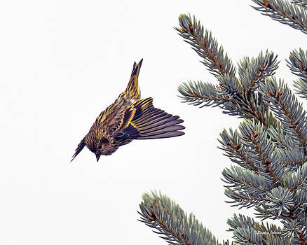Pine Siskin in Granby Colorado by Stephen  Johnson