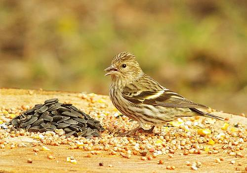 Pine Siskin With A Treat by Billy  Griffis Jr