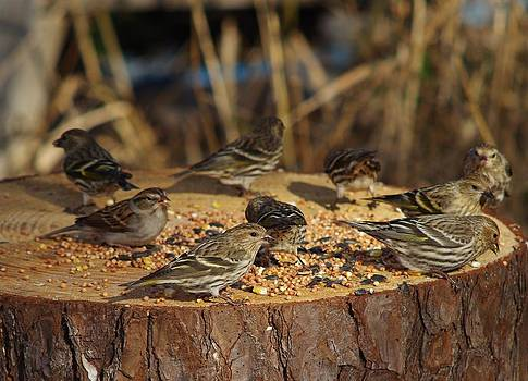 Pine Siskins by Billy  Griffis Jr