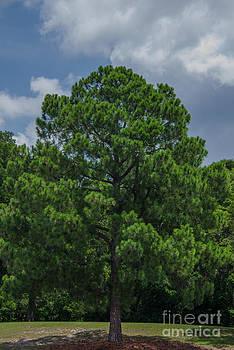 Dale Powell - Pine Tree