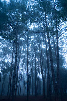 Pine Tree Forest by Chaiyaphong Kitphaephaisan
