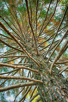 Pine Tree by Lisa Chorny