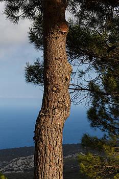 Pine tree by Paul Indigo