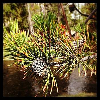 #pine #tree #pinecone #yellowstone #wy by Greta Olivas