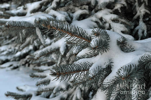Pine Tree with Snow by Briella Danowski
