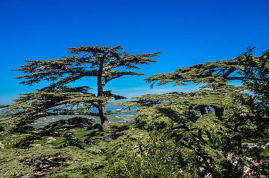 Pine Trees by Dany Lison