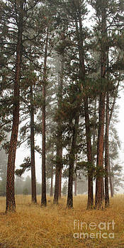Pines by Denise Lilly
