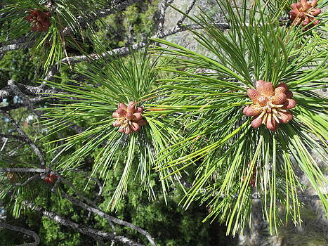 Pines by Yvette Pichette