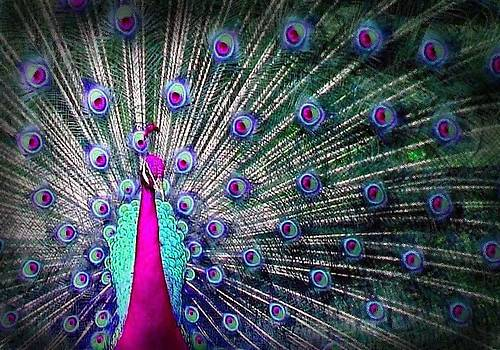 Pink and blues peacock by Diana Shively