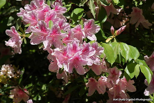 Pink and white azalea by Michelle Cawthon