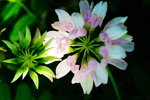 Devinder Sangha - Pink and white flower