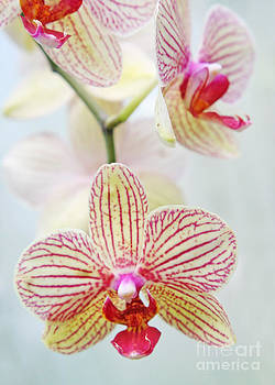 Pink and white orchids by Emanuela Carratoni