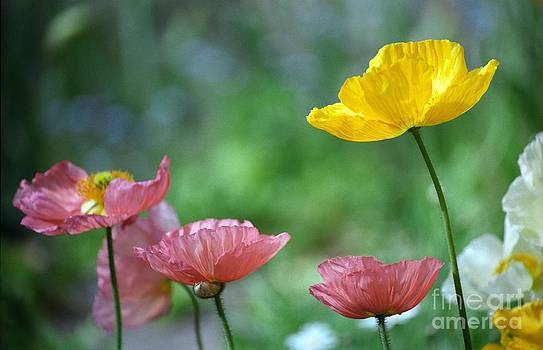 Pink and Yellow Poppies by James B Toy