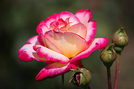 Pink and yellow rose by Florentina De Carvalho