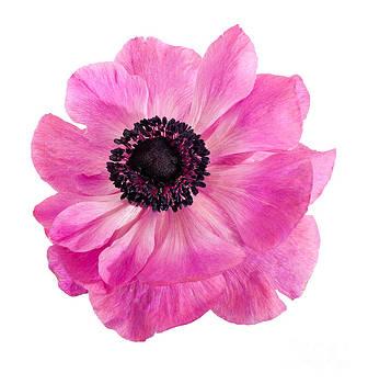 Judith  Flacke - Pink anemone flower