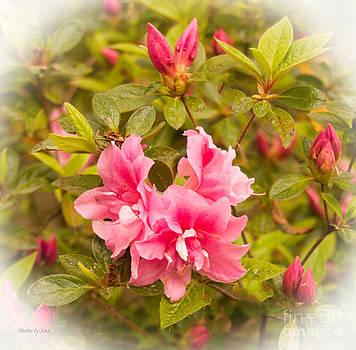 Pink Azalea by Jinx Farmer