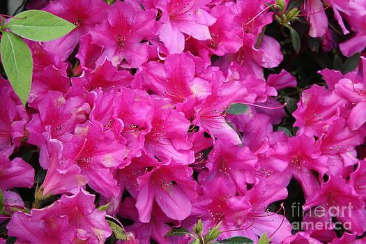 Danielle Groenen - Pink Azaleas