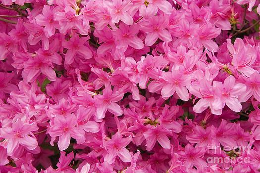 Jill Lang - Pink Azaleas