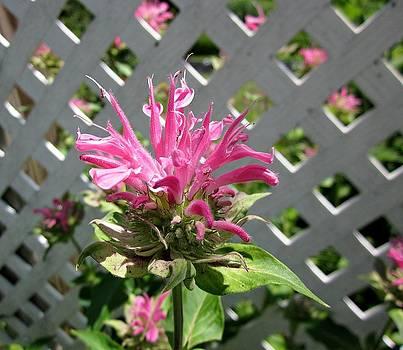 MTBobbins Photography - Pink Bee Balm
