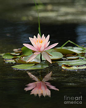 Pink Blooming Water Lily by Sherry Vance