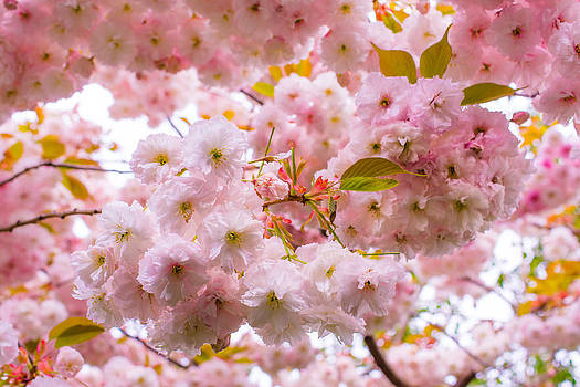 Priya Ghose - Pink Blossom Shelter