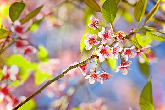 Pink Blossom by Suradej Chuephanich