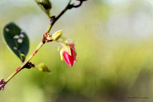 Pink bud by Vanessa Parent