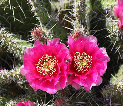 Pink Cactus by Lee Hartsell
