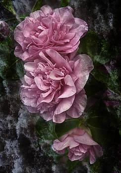 Jane McIlroy - Pink Camellias